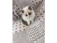 Bi colour ragdoll kittens
