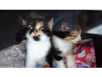 3 adorable ragdoll cross kittens for sale