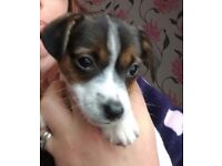 Gorgeous 8 week old female miniature jack Russell puppy