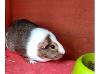 3 female guinea pigs (2 years old) - includes indoor hutch, outdoor hutch and outdoor run - £100-120