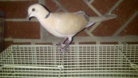 dove for sale