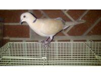 dove for sale