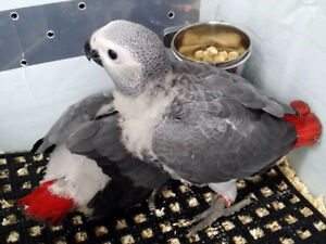 ❤♥☆♥ African Grey ♥ Babies With Cage ♥☆♥❤