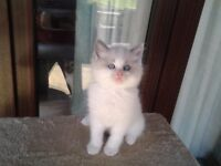 beautiful ragdoll kitten for sale