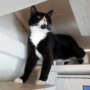 "Adult Male Cat - Domestic Short Hair: ""Sylvester"""