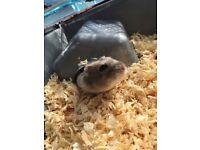 Selling my darling dwarf hamster Peanut
