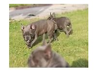 French bulldogs quad carriers npt1007