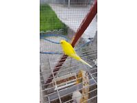 Lutino budgie female for sale