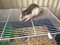 Male Grey White Pet Rat 8 weeks