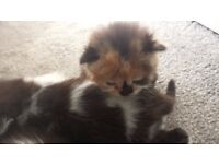 long haired kittens only £150.00