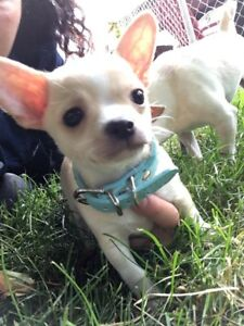 Toujours disponible chiot chihuahua