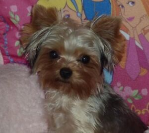Very Tiny Male  CKC Registered Yorkshire Terrier