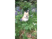 Pet Sitting for Pomeranian Dog (7kg - small)