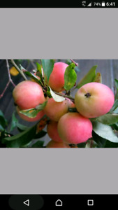 Wanted: Crabapples
