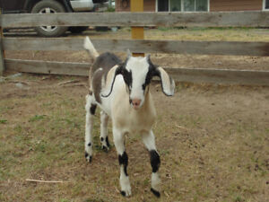 Goats For Sale - $200 (Lone Butte)