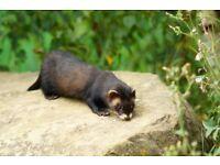 Young ferret-polecats
