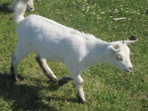 Fixed Males  - Pygmy Goats - Tickity Boo Farm (SOLD_