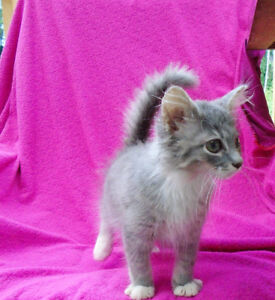 Very cute! Russian blue x Himalayan Persian kittens