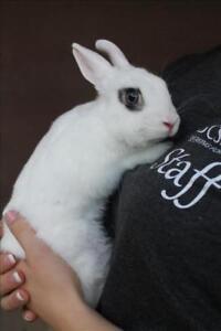 """Baby Male Rabbit - Hotot: """"Hoppsy"""""""
