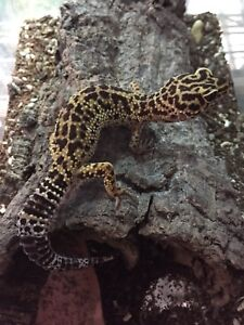 Two female leopard geckos for adoption