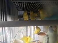 Nice and good conditions budgies for sale sale