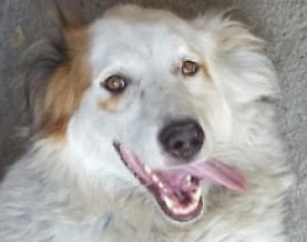 """Adult Male Dog - Collie-Golden Retriever: """"FIFIL"""""""