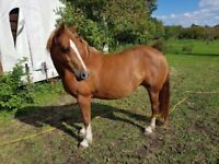 Welsh section c mare 13hh 6yr unbacked project