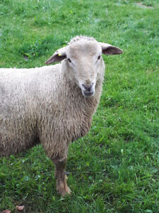 Ram Lamb Intact for sale for breeding.