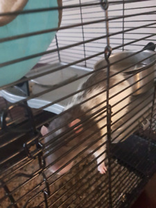 Two dumbo rat brothers FREE TO GOOD HOME