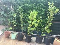 Griselinia Hedging Plants ( starting from £1.50-£3.00 )