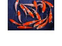 Koi fish 4 inch