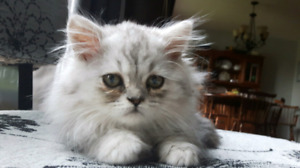Purebreed Persian Dollface Male