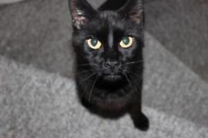 "Adult Male Cat - Domestic Short Hair (Black): ""Tyson"""