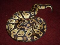 Female Pastel Royal Python