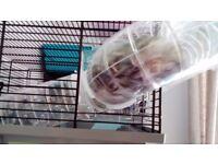 Beautiful tame baby hamsters
