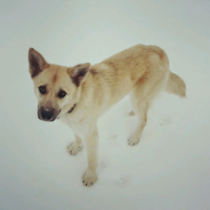 LOST blond dog: Elsie