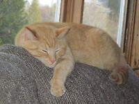 Lost Cat Pet in Oakville Acres Rothesay Kennebecasis Valley