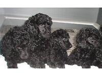 standard poodle female pup