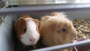 2 sweet male guinea pigs with cage $60