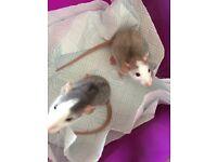 Boy rats