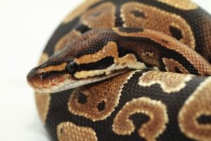male ball python with aquarium and heating pad