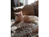 Ragdoll Cat 11 months old Looking for a new Home