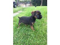 Boy border terrier for sale