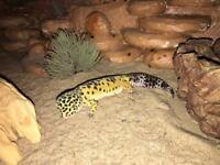 leopard gecko & vivarium/tank