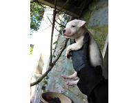 Staffordshire bull terrier female puppy flea and worm treated up to date