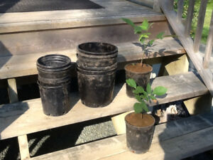 Plant pots wanted...Free walnut tree