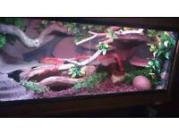 "Female corn snake with beautyfull 3ft ""ND Aquatics"" vivarium, terrarium, tank, full setup"