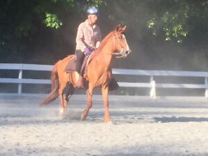 Registered Peruvian Paso, 15 years, 14HH