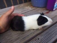 Female guinea pig for sale