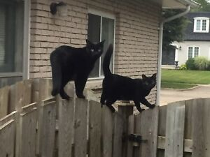 STILL LOST!  - Black Cat - Heritage Park area